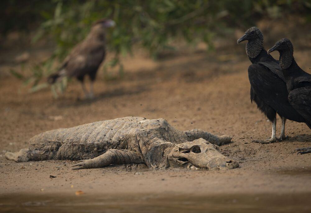Supi stojí vedle mrtvoly aligátora na břehu řeky Cuiaba