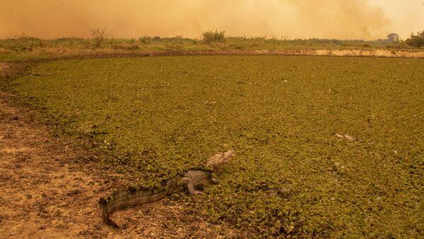 Jaguár leží na popelu po lesním požáru v Brazílii, spolkový stát Mato Grosso - Sputnik Česká republika