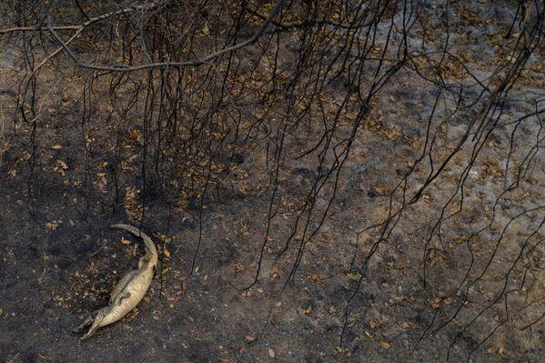 Mrtvý aligátor na území Pantanalu - Sputnik Česká republika