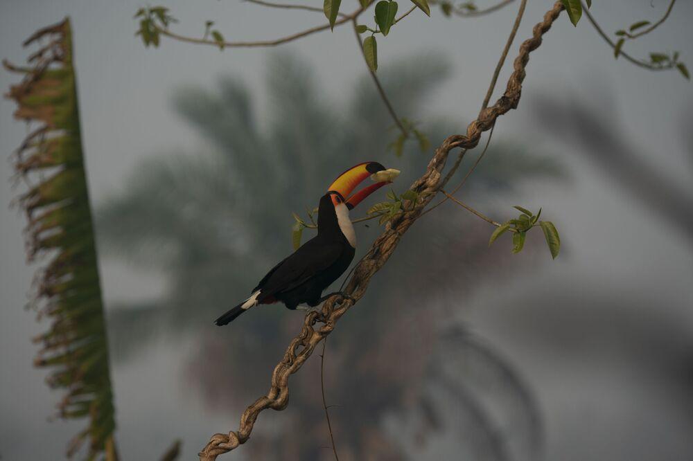 Tukan během lesních požárů v brazilském Pantanalu