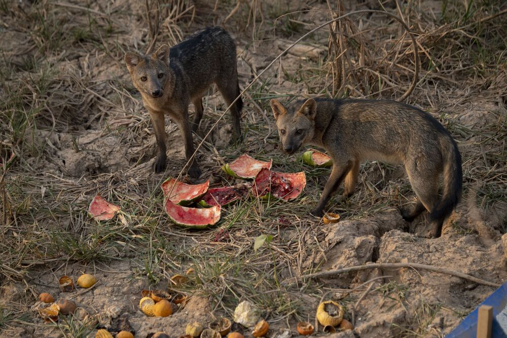 Lišky jedí vodní melouny zanechané ochranáři zvířat v brazilském mokřadu Pantanal