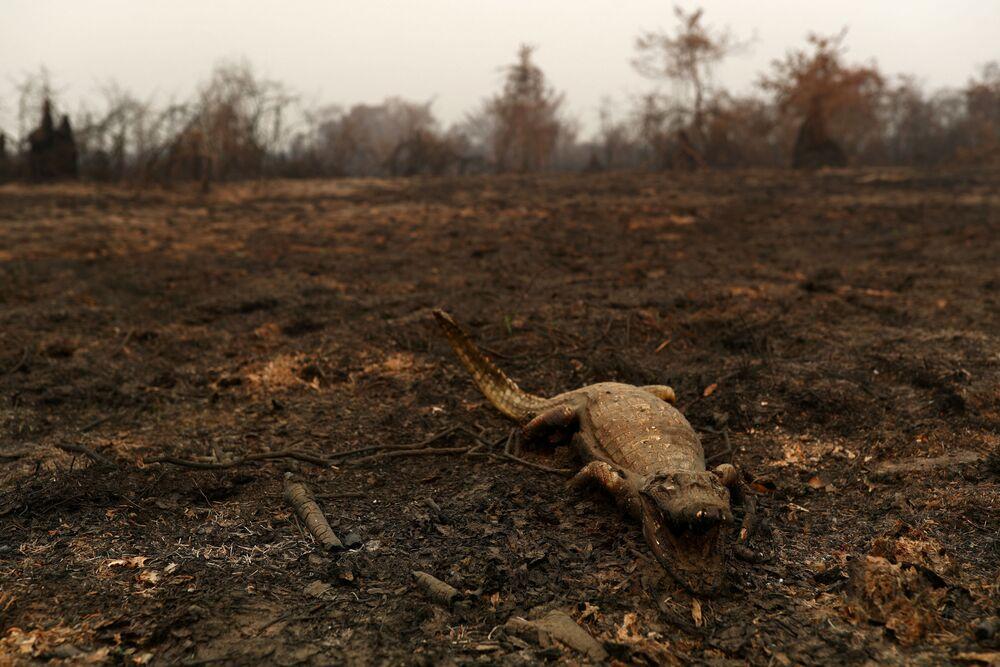 Mrtvola kajmana v Pantanalu