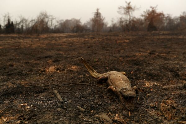Mrtvola kajmana v Pantanalu  - Sputnik Česká republika