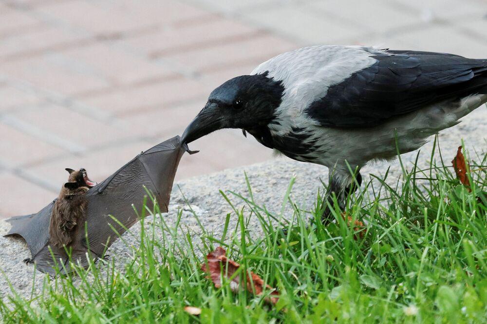 Vrána útočí na netopýra v Kyjevě