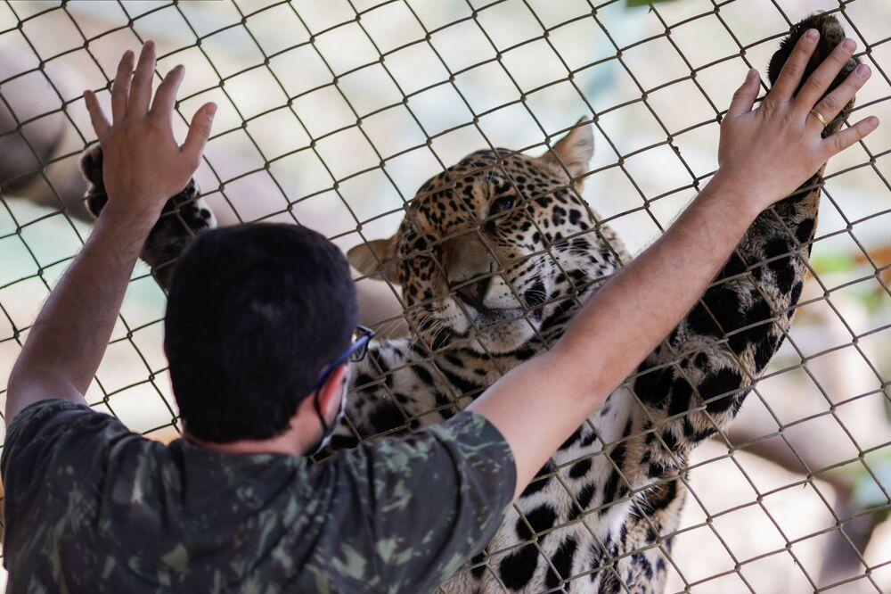 Jaguár a jeho ošetřovatel v centru nevládní organizace Nex Institute v Brazílii