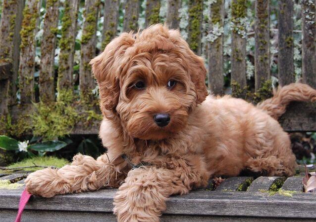 štěně Goldendoodla