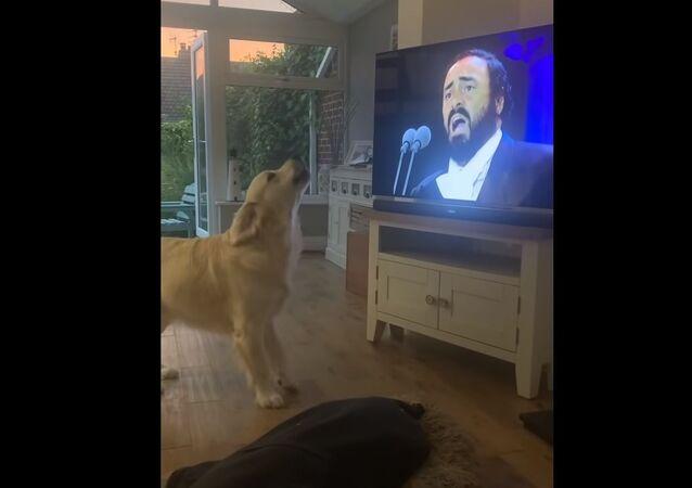 """Fanoušek opery? Retrívr """"nazpíval"""" duet s Lucianem Pavarottim"""