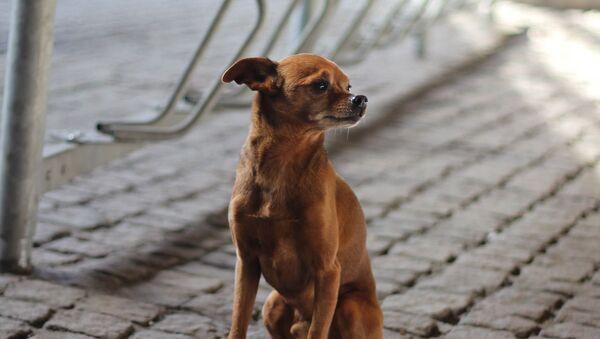 Čivava na ulici. Ilustrační foto - Sputnik Česká republika