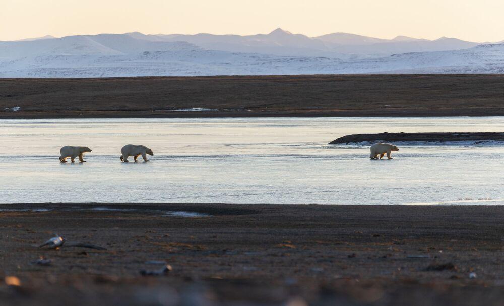Lední medvědi u vesnice Rryrkajpy na Čukotce