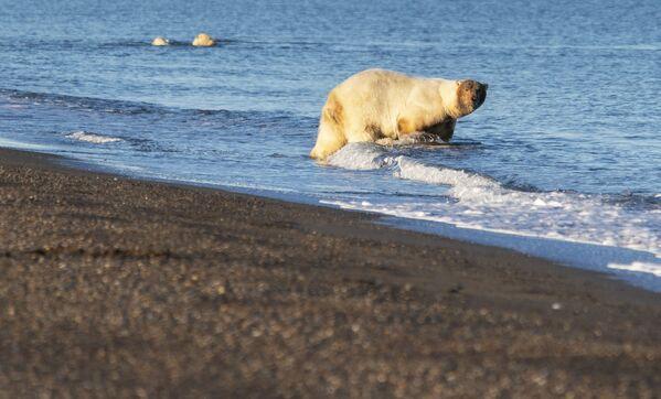 Lední medvědi u vesnice Rryrkajpy na Čukotce - Sputnik Česká republika