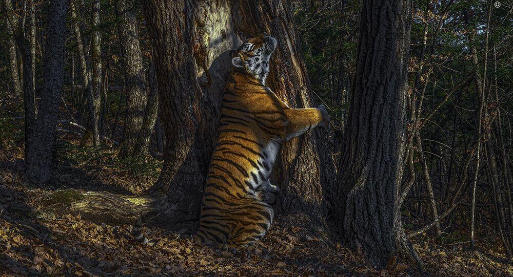 """Snímek Sergeje Gorškova. """"Objetí"""" samice tygra ussurijského."""