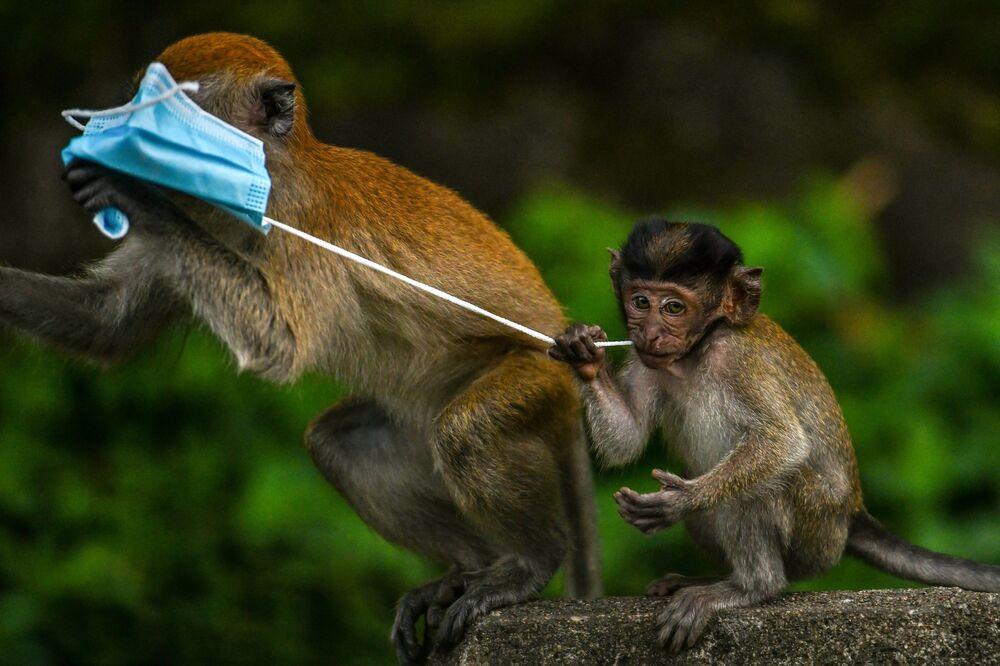 Makakové si hrají s rouškou ve městě Genting Sempah, Malasie.