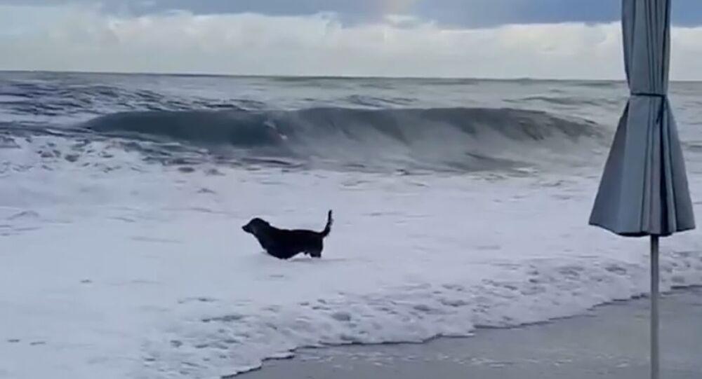 Pejsek štěká na bouřkové vlny Černého moře