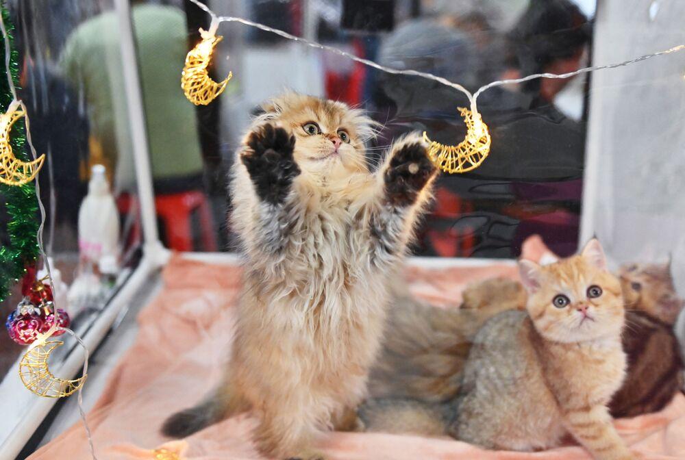Kočka si hraje s přívěsem na výstavě KoShariki-Show v Moskvě