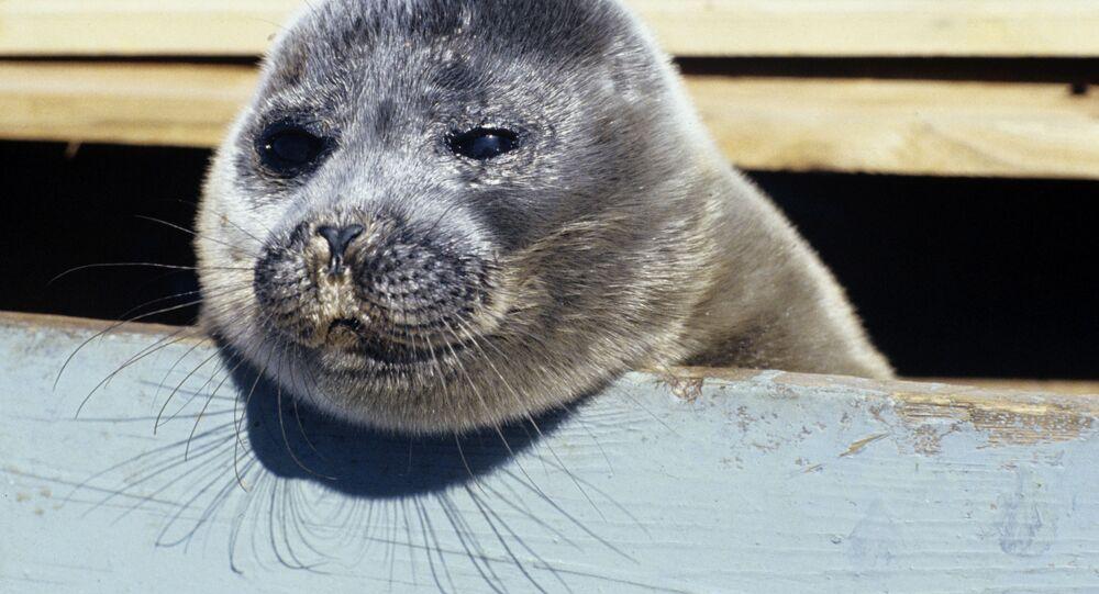 Tuleň bajkalský