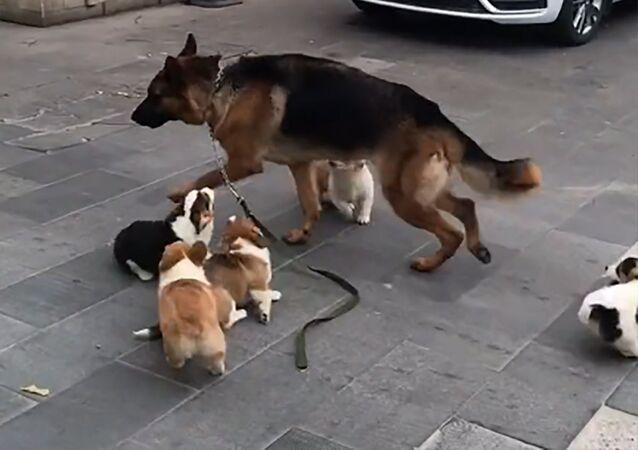 Německý ovčák uniká smečce štěňat corgi