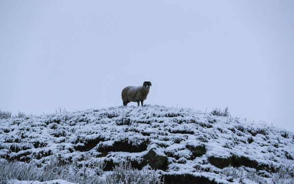 Ovce na vrcholu kopce v Severním Yorkshiru - Sputnik Česká republika