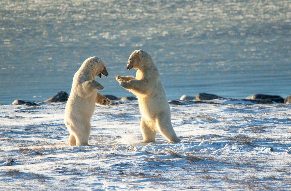 Medvědi lední na Schmidtově mysu na ruské Čukotce.