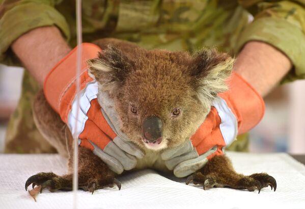 Zraněná při australských požárech koala v polní nemocnici v přírodním parku Kangaroo Island Wildlife Park - Sputnik Česká republika