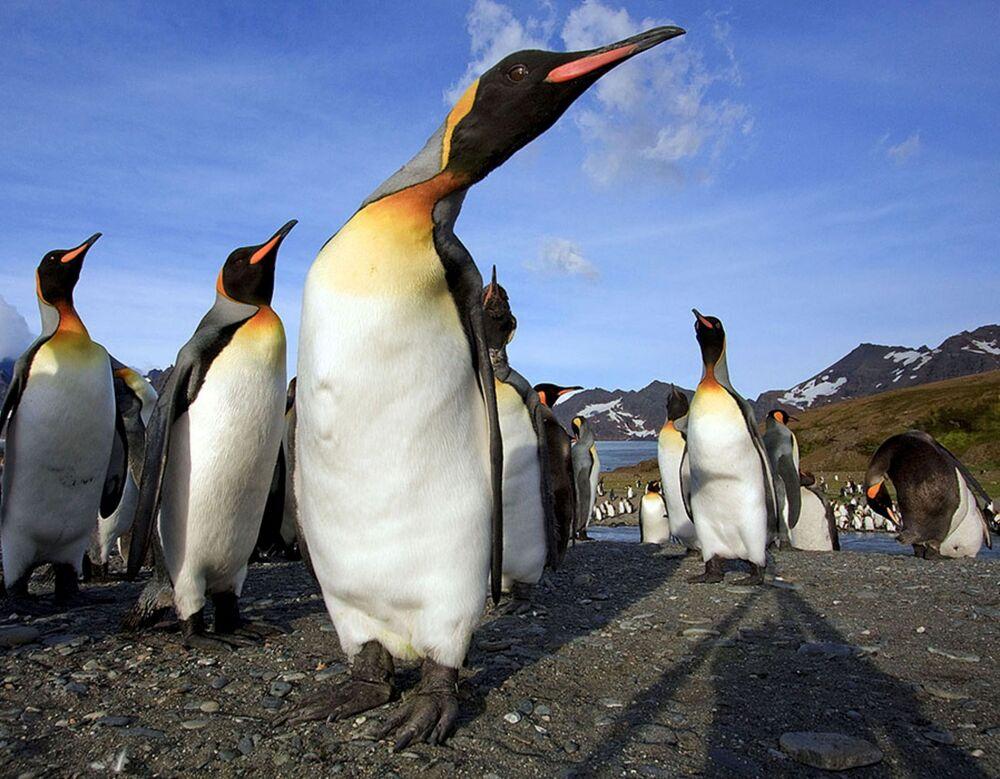Tučňáci na ostrově Jižní Georgie