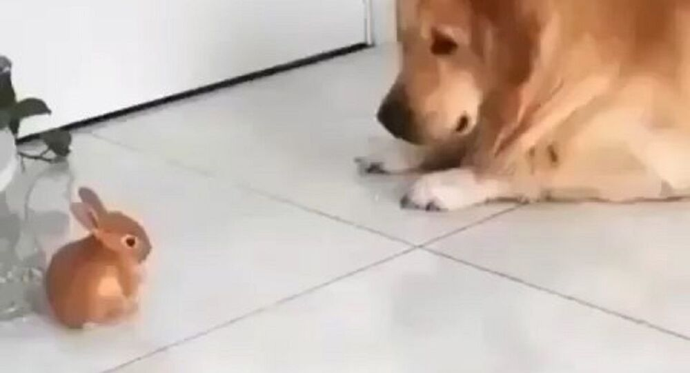 Zlatý retrívr a králíček