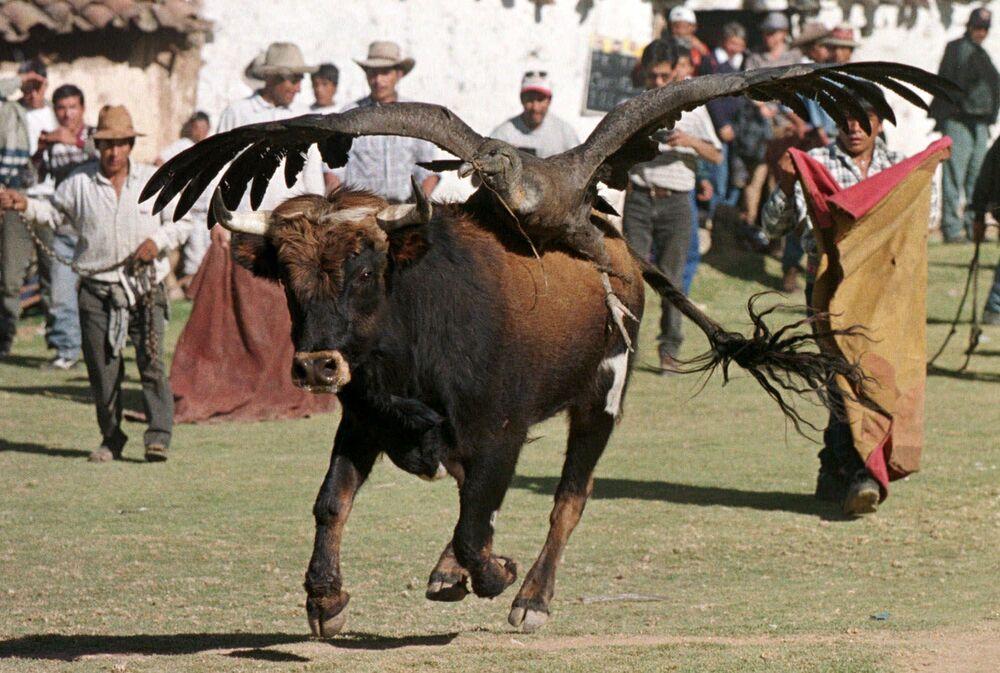Býk s kondorem na zádech při boji s býky v Peru