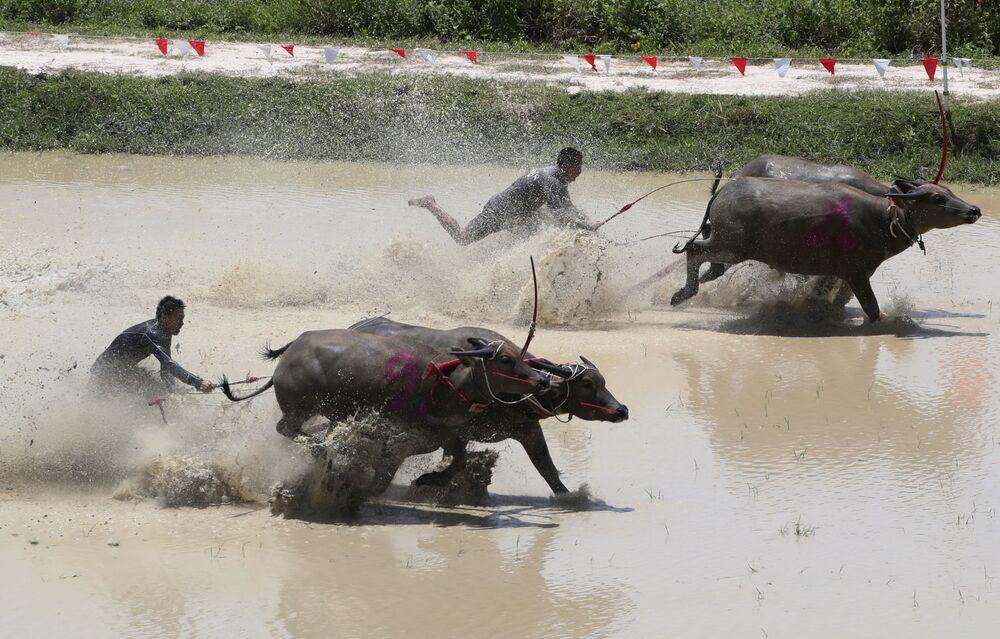 Thajští farmáři při závodech s býky v Thajsku