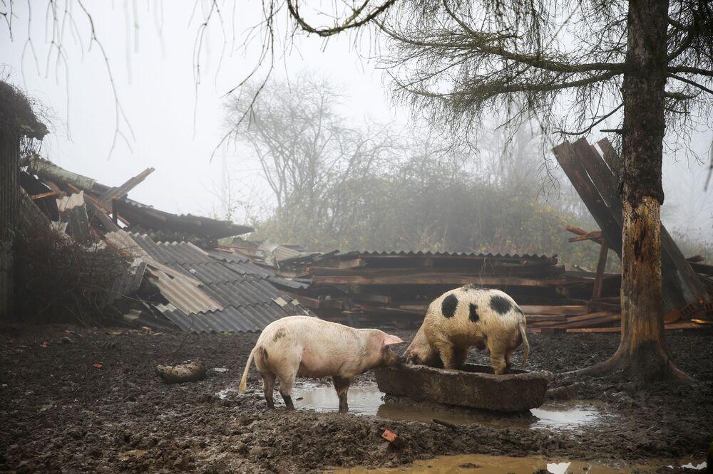 Prasata na zničené farmě v Chorvatsku.