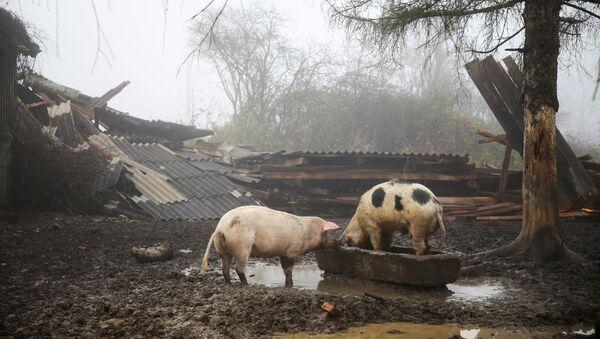 Prasata na zničené farmě v Chorvatsku. - Sputnik Česká republika
