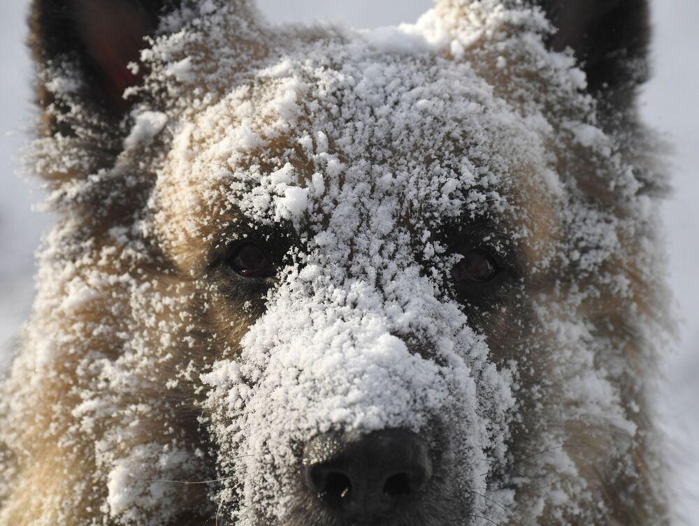 Východoevropský ovčák při procházce ve 30stupňovém mrazu v lese na břehu Jeniseje v Krasnojarsku