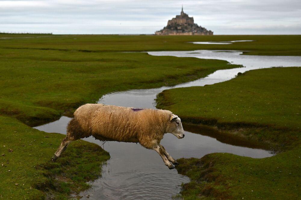 Ovce skáče přes potok v Mont Saint-Michel, Francie
