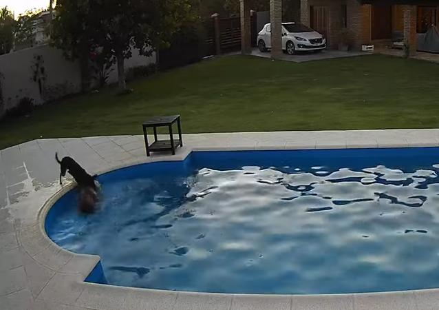Pes zachránil svého slepého kamaráda, který se topil v bazénu