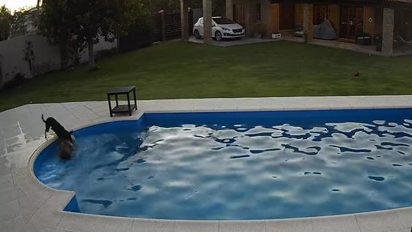 Pes zachránil svého slepého kamaráda, který se topil v bazénu - Sputnik Česká republika