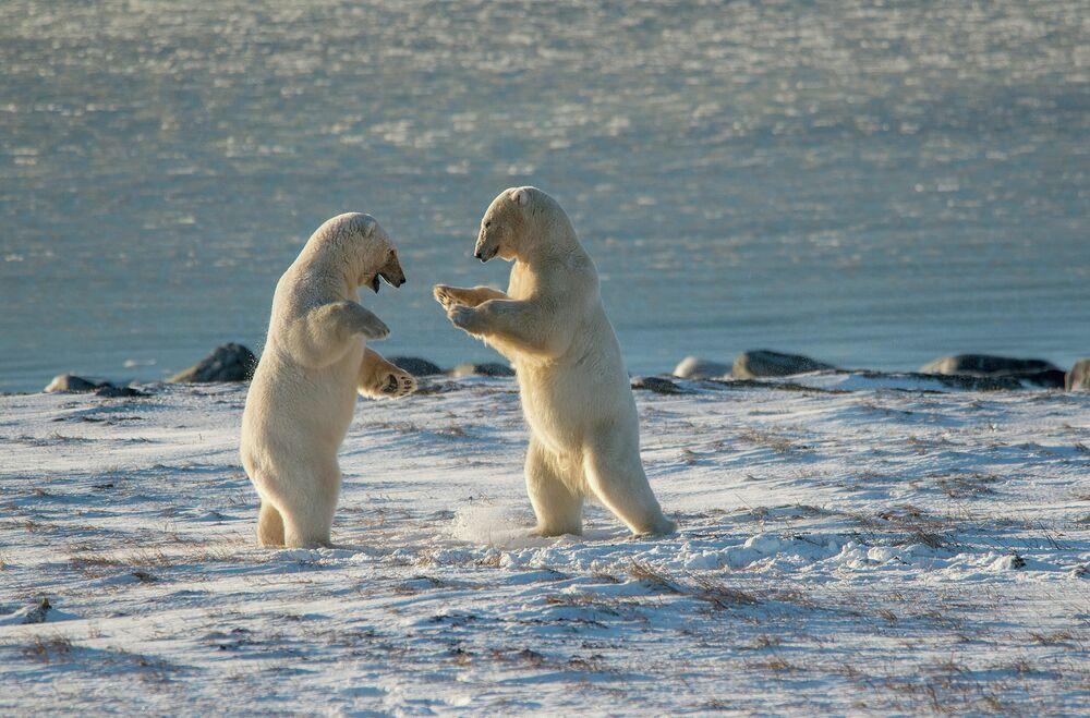Maxim Deminov: Lední medvědi. Čukotská autonomní oblast, rok 2020