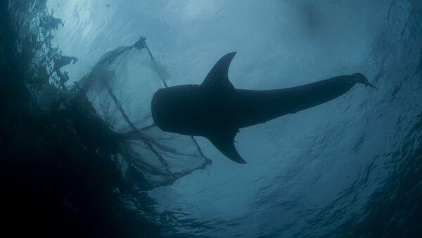 Žralok vedle rybářské sítě - Sputnik Česká republika