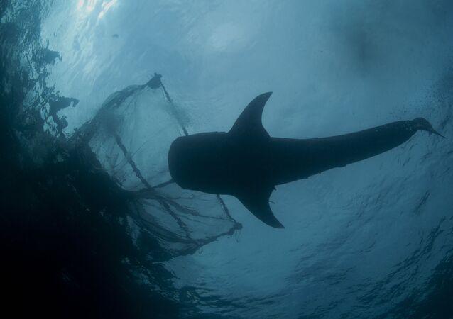 Žralok vedle rybářské sítě