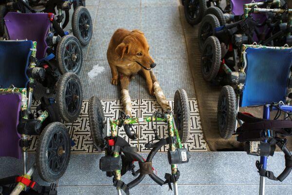 Invalidní pes před venčením ve fondu The Man That Rescues Dogs Foundation v Chonburi, Thajsko  - Sputnik Česká republika