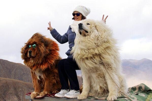 Žena se fotí se psy plemene tibetská doga v horách Tibetu. - Sputnik Česká republika