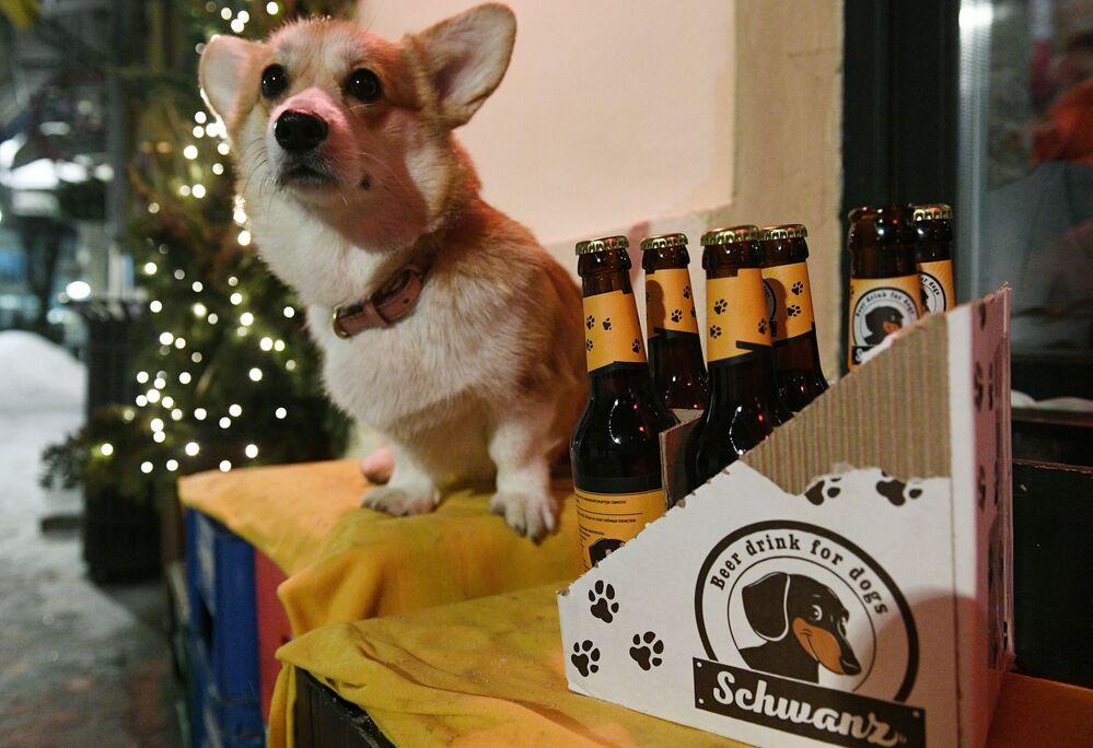 Pes corgi sedí u vchodu do baru Underdog v Moskvě