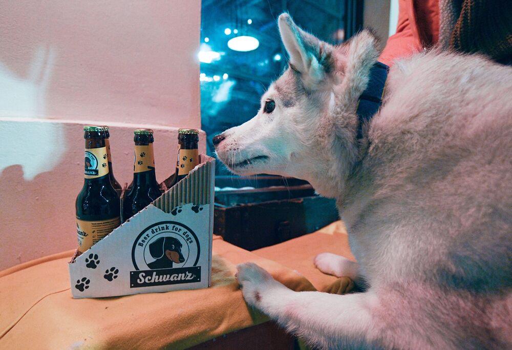 Husky pes čichá láhve s nápojem u vchodu do baru Underdog v Moskvě