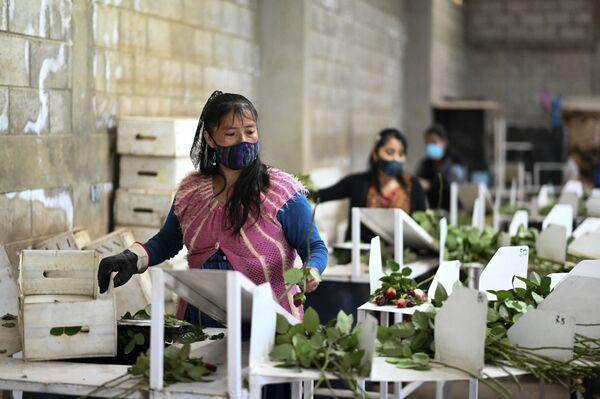 Ženy balí růže na prodej před Valentýnem ve vesnici Loma Alta, San Juan Sacatepequez, Guatemala.  - Sputnik Česká republika