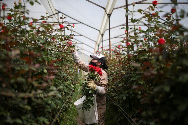 Pracovník květinové farmy sbírá květiny na vývoz před Valentýnem v Kolumbii.  - Sputnik Česká republika