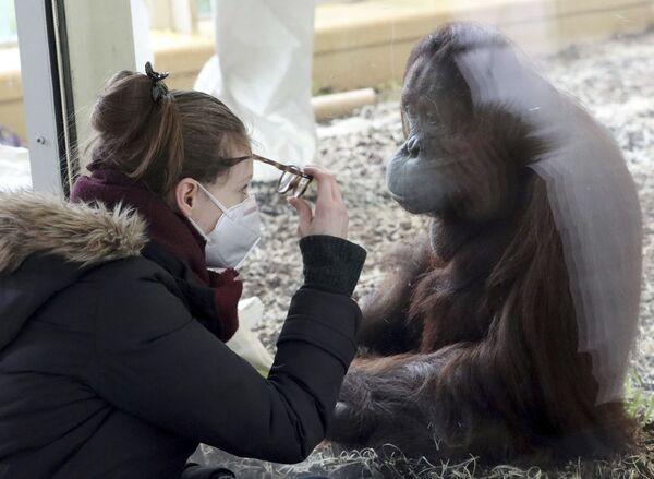 Návštěvník sleduje orangutana v ohradě zoo Shenbrunn ve Vídni.  - Sputnik Česká republika