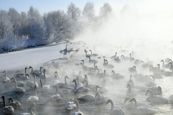 Labutě na Labutím jezeře v Altai . - Sputnik Česká republika