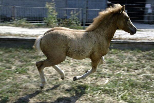 První klonovaný kůň Prometea - Sputnik Česká republika