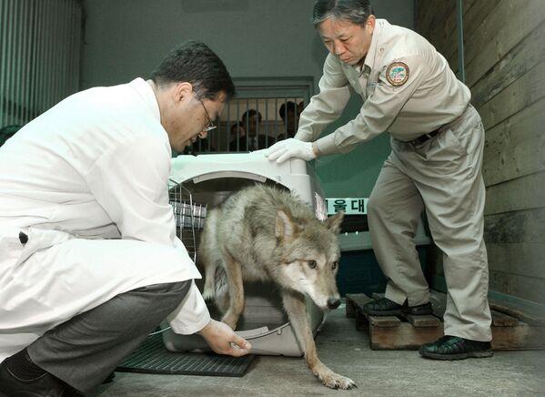Klonovaná vlčice v zoo na jihu Soulu v Jižní Koreji - Sputnik Česká republika