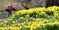 Narcisy kvetoucí v parku St. James's Park v centru Londýna.