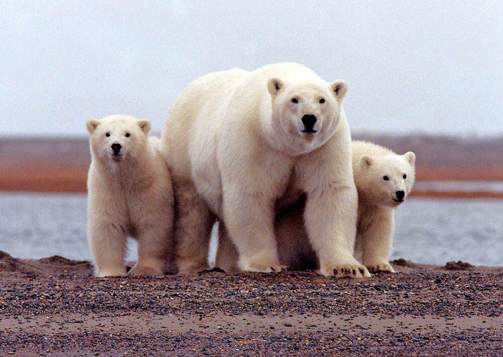 Lední medvěd s mláďaty v Arktické národní přírodní rezervaci pro divokou zvěř na Aljašce