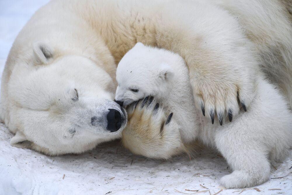 Lední medvědice Gerda s medvědem ve výběhu novosibirské zoo