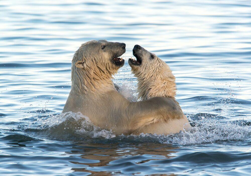 Lední medvědi si hrají v Čukotském moři